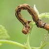 Auksasprindis - Agriopis aurantiaria, vikšras | Fotografijos autorius : Gintautas Steiblys | © Macrogamta.lt | Šis tinklapis priklauso bendruomenei kuri domisi makro fotografija ir fotografuoja gyvąjį makro pasaulį.