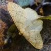 Auksasprindis - Agriopis aurantiaria | Fotografijos autorius : Kazimieras Martinaitis | © Macrogamta.lt | Šis tinklapis priklauso bendruomenei kuri domisi makro fotografija ir fotografuoja gyvąjį makro pasaulį.