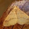 Auksasprindis - Agriopis aurantiaria | Fotografijos autorius : Gintautas Steiblys | © Macrogamta.lt | Šis tinklapis priklauso bendruomenei kuri domisi makro fotografija ir fotografuoja gyvąjį makro pasaulį.
