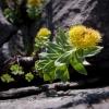 Auksinė šaknis | Fotografijos autorius : Saulius Drazdauskas | © Macrogamta.lt | Šis tinklapis priklauso bendruomenei kuri domisi makro fotografija ir fotografuoja gyvąjį makro pasaulį.