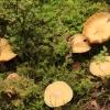 Raukšlėtasis gudukas - Cortinarius caperatus | Fotografijos autorius : Ramunė Vakarė | © Macrogamta.lt | Šis tinklapis priklauso bendruomenei kuri domisi makro fotografija ir fotografuoja gyvąjį makro pasaulį.