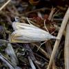 Baltadryžis samaniukas - Catoptria margaritella | Fotografijos autorius : Romas Ferenca | © Macrogamta.lt | Šis tinklapis priklauso bendruomenei kuri domisi makro fotografija ir fotografuoja gyvąjį makro pasaulį.
