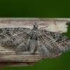 Baltajuostis sprindytis - Eupithecia exiguata | Fotografijos autorius : Žilvinas Pūtys | © Macrogamta.lt | Šis tinklapis priklauso bendruomenei kuri domisi makro fotografija ir fotografuoja gyvąjį makro pasaulį.