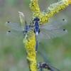 Baltakaktė skėtė - Leucorrhinia albifrons | Fotografijos autorius : Deividas Makavičius | © Macrogamta.lt | Šis tinklapis priklauso bendruomenei kuri domisi makro fotografija ir fotografuoja gyvąjį makro pasaulį.