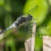 Baltakaktė skėtė - Leucorrhinia albifrons | Fotografijos autorius : Dalia Račkauskaitė | © Macrogamta.lt | Šis tinklapis priklauso bendruomenei kuri domisi makro fotografija ir fotografuoja gyvąjį makro pasaulį.