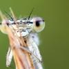 Baltakojė strėliukė | Fotografijos autorius : Darius Baužys | © Macrogamta.lt | Šis tinklapis priklauso bendruomenei kuri domisi makro fotografija ir fotografuoja gyvąjį makro pasaulį.