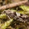 Baltasparnė epinocija - Epinotia pygmaeana   Fotografijos autorius : Žilvinas Pūtys   © Macrogamta.lt   Šis tinklapis priklauso bendruomenei kuri domisi makro fotografija ir fotografuoja gyvąjį makro pasaulį.