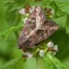 Baltataškis pelkinukas - Helotropha leucostigma   Fotografijos autorius : Žilvinas Pūtys   © Macrogamta.lt   Šis tinklapis priklauso bendruomenei kuri domisi makro fotografija ir fotografuoja gyvąjį makro pasaulį.