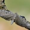 Barštinis sprindytis - Eupithecia selinata | Fotografijos autorius : Arūnas Eismantas | © Macrogamta.lt | Šis tinklapis priklauso bendruomenei kuri domisi makro fotografija ir fotografuoja gyvąjį makro pasaulį.