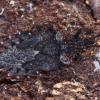 Beržinė žieviablakė - Aradus betulae, ♂ | Fotografijos autorius : Žilvinas Pūtys | © Macrogamta.lt | Šis tinklapis priklauso bendruomenei kuri domisi makro fotografija ir fotografuoja gyvąjį makro pasaulį.