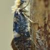 Beržinė eriokranija - Eriocrania salopiella | Fotografijos autorius : Arūnas Eismantas | © Macrogamta.lt | Šis tinklapis priklauso bendruomenei kuri domisi makro fotografija ir fotografuoja gyvąjį makro pasaulį.