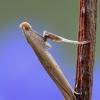 Beržinė kaloptilija - Caloptilia betulicola | Fotografijos autorius : Arūnas Eismantas | © Macrogamta.lt | Šis tinklapis priklauso bendruomenei kuri domisi makro fotografija ir fotografuoja gyvąjį makro pasaulį.