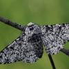Beržinis šeriasprinidis - Biston betularia | Fotografijos autorius : Gintautas Steiblys | © Macrogamta.lt | Šis tinklapis priklauso bendruomenei kuri domisi makro fotografija ir fotografuoja gyvąjį makro pasaulį.