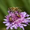 Naminė bitė - Apis mellifera | Fotografijos autorius : Irenėjas Urbonavičius | © Macrogamta.lt | Šis tinklapis priklauso bendruomenei kuri domisi makro fotografija ir fotografuoja gyvąjį makro pasaulį.