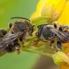 Bitė - Macropis fulvipes ♂ | Fotografijos autorius : Žilvinas Pūtys | © Macrogamta.lt | Šis tinklapis priklauso bendruomenei kuri domisi makro fotografija ir fotografuoja gyvąjį makro pasaulį.