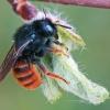 Dvispalvė osmija - Osmia bicolor ♀ | Fotografijos autorius : Gintautas Steiblys | © Macrogamta.lt | Šis tinklapis priklauso bendruomenei kuri domisi makro fotografija ir fotografuoja gyvąjį makro pasaulį.