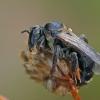 Gauruotakojė bitė - Dasypoda altercator ♀ | Fotografijos autorius : Gintautas Steiblys | © Macrogamta.lt | Šis tinklapis priklauso bendruomenei kuri domisi makro fotografija ir fotografuoja gyvąjį makro pasaulį.