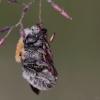 Bitė - Osmia cf uncinata | Fotografijos autorius : Eglė (Černevičiūtė) Vičiuvienė | © Macrogamta.lt | Šis tinklapis priklauso bendruomenei kuri domisi makro fotografija ir fotografuoja gyvąjį makro pasaulį.
