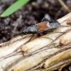 Trumpasparnė dirvablakė - Pterotmetus staphyliniformis   Fotografijos autorius : Romas Ferenca   © Macrogamta.lt   Šis tinklapis priklauso bendruomenei kuri domisi makro fotografija ir fotografuoja gyvąjį makro pasaulį.