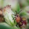 Rhopalus sp. | Fotografijos autorius : Vidas Brazauskas | © Macrogamta.lt | Šis tinklapis priklauso bendruomenei kuri domisi makro fotografija ir fotografuoja gyvąjį makro pasaulį.