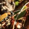 Blindinis rusvys - Lochmaea caprea   Fotografijos autorius : Ramunė Vakarė   © Macrogamta.lt   Šis tinklapis priklauso bendruomenei kuri domisi makro fotografija ir fotografuoja gyvąjį makro pasaulį.