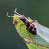 Brūkšniuotoji žolblakė - Pilophorus confusus | Fotografijos autorius : Oskaras Venckus | © Macrogamta.lt | Šis tinklapis priklauso bendruomenei kuri domisi makro fotografija ir fotografuoja gyvąjį makro pasaulį.