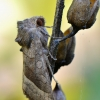 Bulvinis pelėdgalvis - Hydraecia micacea | Fotografijos autorius : Arūnas Eismantas | © Macrogamta.lt | Šis tinklapis priklauso bendruomenei kuri domisi makro fotografija ir fotografuoja gyvąjį makro pasaulį.