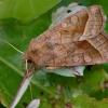 Bulvinis pelėdgalvis - Hydraecia micacea | Fotografijos autorius : Romas Ferenca | © Macrogamta.lt | Šis tinklapis priklauso bendruomenei kuri domisi makro fotografija ir fotografuoja gyvąjį makro pasaulį.