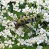 Liepinis raštenis - Chlorophorus herbstii | Fotografijos autorius : Vitalii Alekseev | © Macrogamta.lt | Šis tinklapis priklauso bendruomenei kuri domisi makro fotografija ir fotografuoja gyvąjį makro pasaulį.