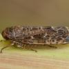 Cikadėlė - Allygidius commutatus | Fotografijos autorius : Žilvinas Pūtys | © Macrogamta.lt | Šis tinklapis priklauso bendruomenei kuri domisi makro fotografija ir fotografuoja gyvąjį makro pasaulį.