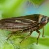 Cikadėlė - Aphrodes bicinctus  | Fotografijos autorius : Žilvinas Pūtys | © Macrogamta.lt | Šis tinklapis priklauso bendruomenei kuri domisi makro fotografija ir fotografuoja gyvąjį makro pasaulį.