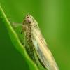 Cikadėlė, nežinau kokia | Fotografijos autorius : Vidas Brazauskas | © Macrogamta.lt | Šis tinklapis priklauso bendruomenei kuri domisi makro fotografija ir fotografuoja gyvąjį makro pasaulį.