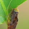 Cikadelės - Pediopsis tiliae | Fotografijos autorius : Gintautas Steiblys | © Macrogamta.lt | Šis tinklapis priklauso bendruomenei kuri domisi makro fotografija ir fotografuoja gyvąjį makro pasaulį.