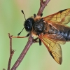 Cimbeksas - Trichiosoma lucorum | Fotografijos autorius : Gintautas Steiblys | © Macrogamta.lt | Šis tinklapis priklauso bendruomenei kuri domisi makro fotografija ir fotografuoja gyvąjį makro pasaulį.