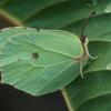 Citrinukas - Gonepteryx rhamni | Fotografijos autorius : Gintautas Steiblys | © Macrogamta.lt | Šis tinklapis priklauso bendruomenei kuri domisi makro fotografija ir fotografuoja gyvąjį makro pasaulį.