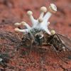 Polycephalomyces cf. ramosus | Fotografijos autorius : Gintautas Steiblys | © Macrogamta.lt | Šis tinklapis priklauso bendruomenei kuri domisi makro fotografija ir fotografuoja gyvąjį makro pasaulį.