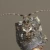 Dėmėtasis žabinukas - Pogonocherus fasciculatus | Fotografijos autorius : Giedrius Markevičius | © Macrogamta.lt | Šis tinklapis priklauso bendruomenei kuri domisi makro fotografija ir fotografuoja gyvąjį makro pasaulį.