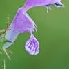 Dėmėtoji notrelė - Lamium maculatum | Fotografijos autorius : Gintautas Steiblys | © Macrogamta.lt | Šis tinklapis priklauso bendruomenei kuri domisi makro fotografija ir fotografuoja gyvąjį makro pasaulį.