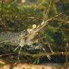 Dailioji žolinė krevetė - Palaemon elegans   Fotografijos autorius : Gintautas Steiblys   © Macrogamta.lt   Šis tinklapis priklauso bendruomenei kuri domisi makro fotografija ir fotografuoja gyvąjį makro pasaulį.