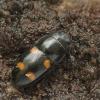 Daržinis žvilgvabalis - Glischrochilus hortensis | Fotografijos autorius : Vidas Brazauskas | © Macrogamta.lt | Šis tinklapis priklauso bendruomenei kuri domisi makro fotografija ir fotografuoja gyvąjį makro pasaulį.