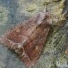 Daržinis pelėdgalvis - Lacanobia oleracea | Fotografijos autorius : Vidas Brazauskas | © Macrogamta.lt | Šis tinklapis priklauso bendruomenei kuri domisi makro fotografija ir fotografuoja gyvąjį makro pasaulį.