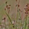 Daugiažiedis kiškiagrikis - Luzula multiflora | Fotografijos autorius : Kęstutis Obelevičius | © Macrogamta.lt | Šis tinklapis priklauso bendruomenei kuri domisi makro fotografija ir fotografuoja gyvąjį makro pasaulį.