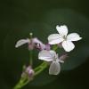 Daugiametė blizgė - Lunaria rediviva | Fotografijos autorius : Agnė Našlėnienė | © Macrogamta.lt | Šis tinklapis priklauso bendruomenei kuri domisi makro fotografija ir fotografuoja gyvąjį makro pasaulį.