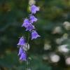 Didžiažiedis katilėlis - Campanula persicifolia | Fotografijos autorius : Agnė Našlėnienė | © Macrogamta.lt | Šis tinklapis priklauso bendruomenei kuri domisi makro fotografija ir fotografuoja gyvąjį makro pasaulį.