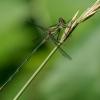 Didžioji strėliukė - Chalcolestes viridis | Fotografijos autorius : Dalia Račkauskaitė | © Macrogamta.lt | Šis tinklapis priklauso bendruomenei kuri domisi makro fotografija ir fotografuoja gyvąjį makro pasaulį.