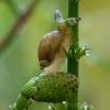 Didžioji gintarė - Succinea putris ir parazitas Leucochloridium paradoxum | Fotografijos autorius : Žilvinas Pūtys | © Macrogamta.lt | Šis tinklapis priklauso bendruomenei kuri domisi makro fotografija ir fotografuoja gyvąjį makro pasaulį.