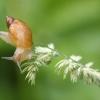 Didžioji gintarė - Succinea putris | Fotografijos autorius : Vidas Brazauskas | © Macrogamta.lt | Šis tinklapis priklauso bendruomenei kuri domisi makro fotografija ir fotografuoja gyvąjį makro pasaulį.