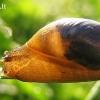 Didžioji gintarė - Succinea putris | Fotografijos autorius : Rasa Gražulevičiūtė | © Macrogamta.lt | Šis tinklapis priklauso bendruomenei kuri domisi makro fotografija ir fotografuoja gyvąjį makro pasaulį.