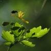 Didžioji ugniažolė - Chelidonium majus | Fotografijos autorius : Vidas Brazauskas | © Macrogamta.lt | Šis tinklapis priklauso bendruomenei kuri domisi makro fotografija ir fotografuoja gyvąjį makro pasaulį.