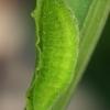 Didysis auksinukas - Lycaena dispar, vikšras | Fotografijos autorius : Gintautas Steiblys | © Macrogamta.lt | Šis tinklapis priklauso bendruomenei kuri domisi makro fotografija ir fotografuoja gyvąjį makro pasaulį.